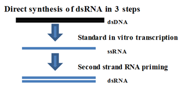 dsRNA_synthesis