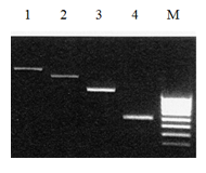 Dsrna Agarose Gel